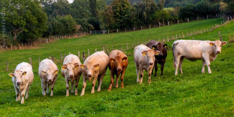 Junge Bullen in Behrensdorf
